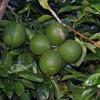 Suflé helado de lima (Cold Lime Souffle)