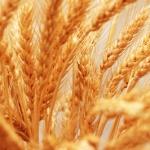 Albóndigas de trigo Burgol