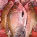 Chupín de pescado